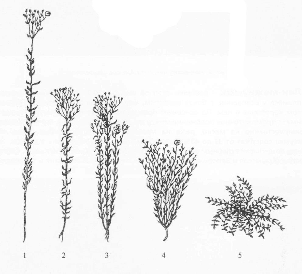 Подвиды льна 1 - лен-долгунец; 2-3 - лен-межеумок; 4 - лен-кудряш; 5 -полуозимый (стелющийся) лен.