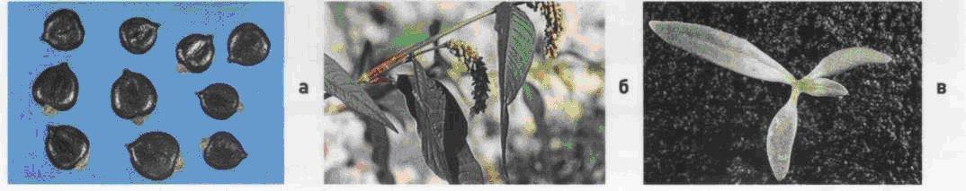 Горец шероховатый.  Семена (а). Взрослое растение (б). Всходы (в)