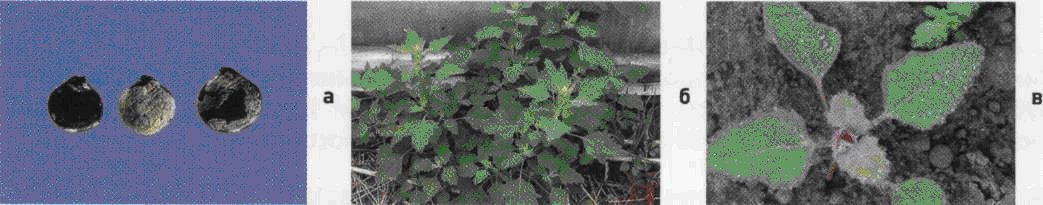 Марь белая. Семена (а). Взрослое растение (б). Всходы (в).