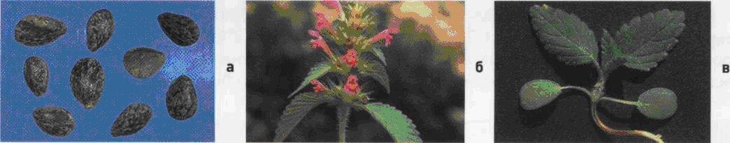 Пикульник обыкновенный. Семена (а). Взрослое растение (б). Всходы (в).
