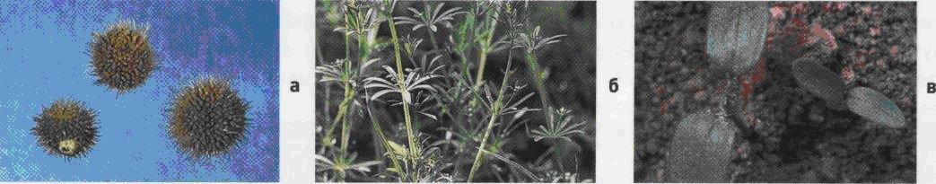 Подмаренник цепкий. Семена (а). Взрослое растение (б). Всходы (в).