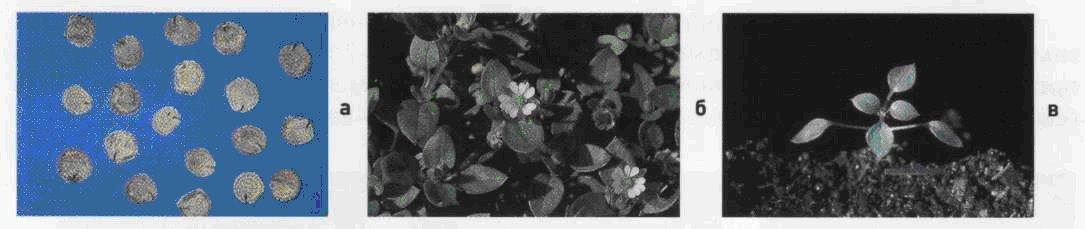 Звездчатка средняя. Семена (а). Взрослое растение (б). Всходы (в).