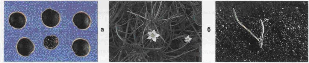 Торица полевая. Семена (а). Взрослое растение (б). Всходы (в).
