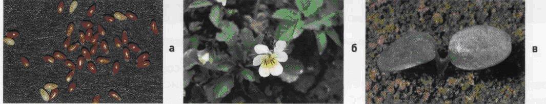 Фиалка полевая. Семена (а). Взрослое растение (б). Всходы (в).