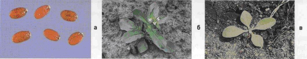 Ярутка полевая. Семена (а). Взрослое растение (б). Всходы (в).