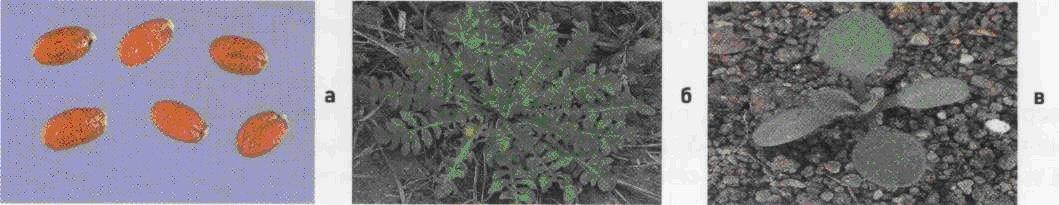 Пастушья сумка обыкновенная. Семена (а). Взрослое растение (б). Всходы (в).