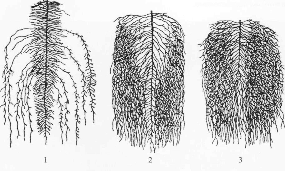 Корневая система льна. 1 - долгунца; 2 - кудряша; 3 - стелющегося льна.