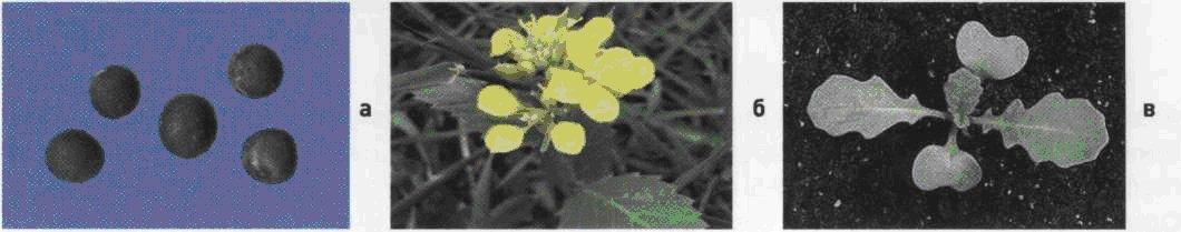 Горчица полевая. Семена (а). Взрослое растение (б). Всходы (в).