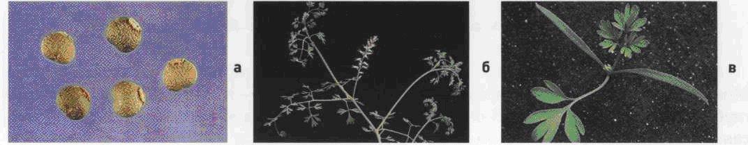 Дымянка лекарственная. Семена (а). Взрослое растение (б). Всходы (в).