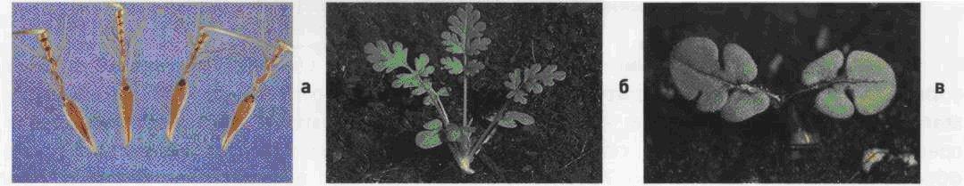 Аистник цикутный. Семена (а). Взрослое растение (б). Всходы (в).