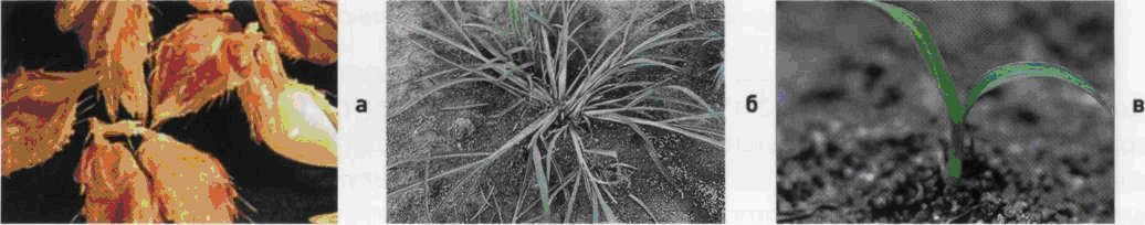 Просо куриное. Семена (а). Взрослое растение (б). Всходы (в).