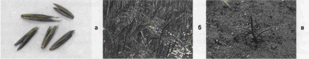 Метлица обыкновенная. Семена (а). Соцветие (б). Всходы (в).