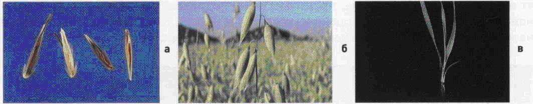 Овсюг обыкновенный, овес пустой. Семена (а). Соцветие (б). Всходы (в).