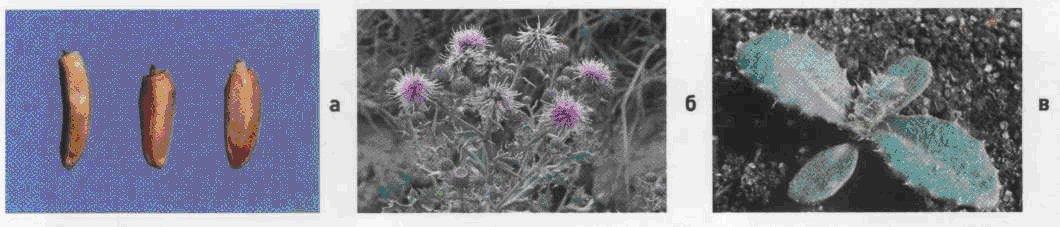 Бодяк щетинистый (осот розовый). Семена (а). Взрослое растение (б). Всходы (в).