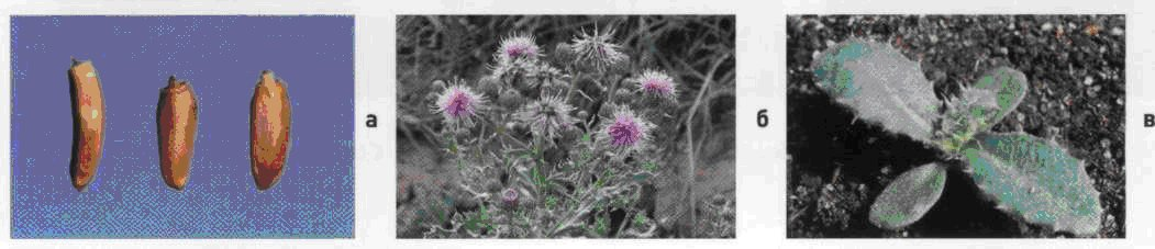 Бодяк полевой. Семена (а). Взрослое растение (б). Всходы (в).