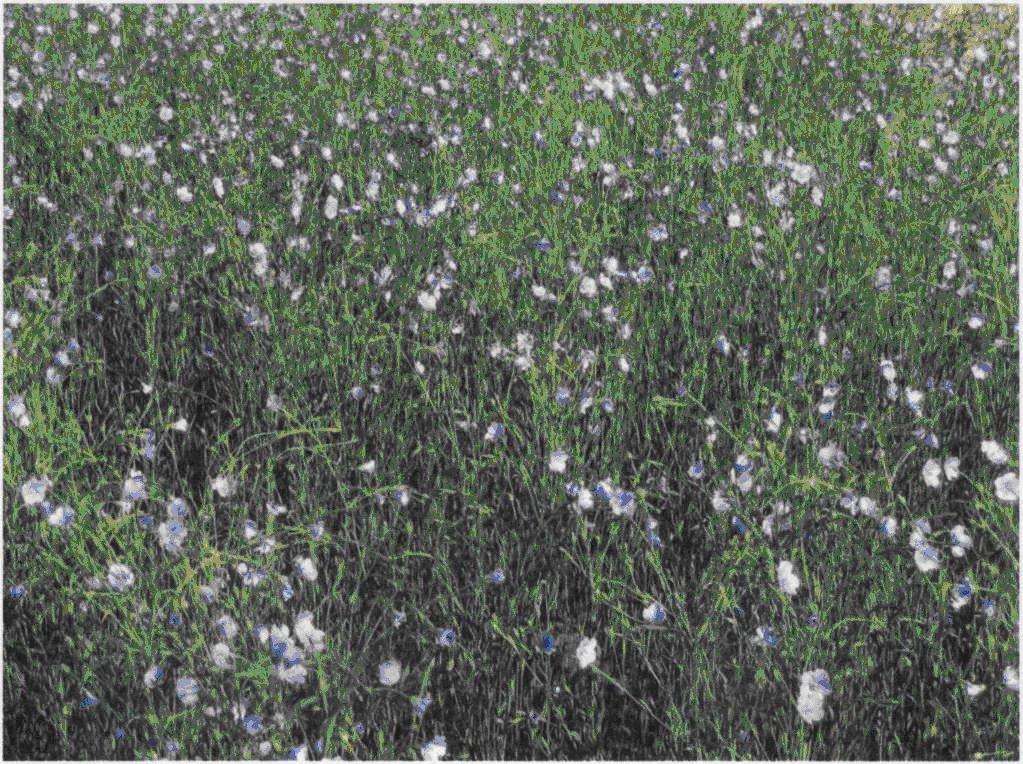 Лен-долгунец в фазу цветения