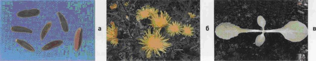 Осот полевой. Семена (а). Взрослое растение (б). Всходы (в).