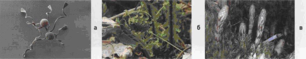 Хвощ полевой. Семена (а). Взрослое растение (б). Всходы (в).