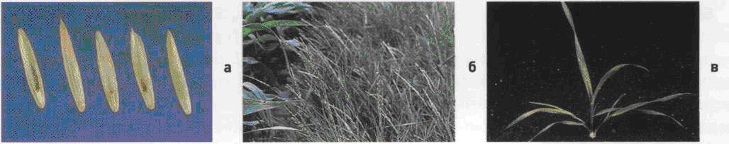 Пырей ползучий. Семена (а). Взрослое растение (б). Всходы (в).