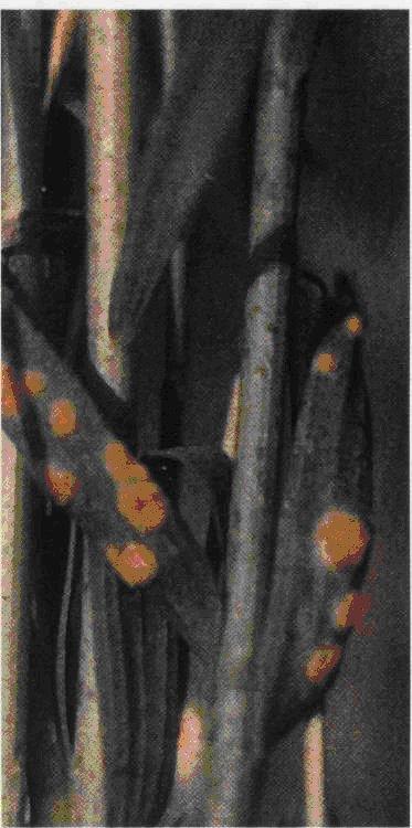 Фузариоз по ржавчине льна на стеблях