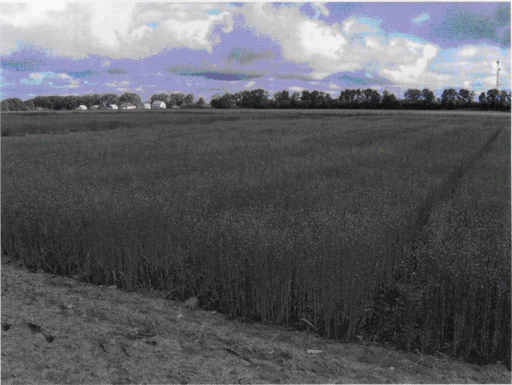 Селекционный посев льна-долгунца